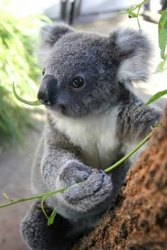 "Do you know the answer to the question: ""What do koalas eat?""This article aims to cover important koala diet and feeding questions koala bear Cute Funny Animals, Cute Baby Animals, Animals And Pets, Wild Animals, Baby Panda Bears, Polar Bears, Australian Animals, Tier Fotos, Sphynx"