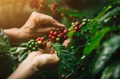 Close-up Arabica Coffee Berries With Agriculturist Hands Coffee Bean Tree, Coffee Plant, Coffee Study, Coffee Farm, Fresh Coffee Beans, Arabica Coffee Beans, Berry Plants, Close Up, Coffee Roasting