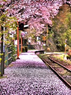 Cherry Petals' Fallin' by Minoru Matsumura / 500px Cherry Blossom
