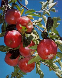 Red Delicious Apple Tree Deep red skin covers a sweet flavored apple. Harvest late September. Very popular variety. Canadale Nurseries Ltd.