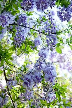 Wisteria in bloom Purple Flowers, Beautiful Flowers, Beautiful Pictures, Dame Nature, Vides, Flowering Trees, Beautiful Gardens, Mother Nature, Shrubs
