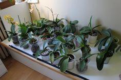 Ezt tedd, hogy ismét virágozzon az orchideád – Balkonada Cactus, Orchids, Garden, Flowers, Succulents, Plant, Tips, Garten, Lawn And Garden
