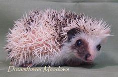 Hedgehog Colors Algerian dark grey high pinto