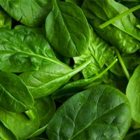 Spinach isn't just for Popeye. Dark green leafy vegetables like Spinach, kale, romaine lettuce, leaf lettuce, mustard greens, collard greens, chicory and Swiss chard are excellent sources of fiber, folate and a wide range of carotenoids such as lutein and zeaxanthin, along with saponins and flavonoids.