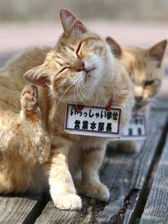 芦ノ湖の湖尻地区で観光客に人気の看板猫。メスの「営業本部長」(手前)とオスの「営業課長」。仲良しきょうだいは物怖じしない接客態…