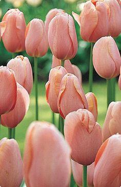 Menton Tulip
