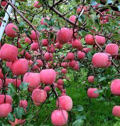 青森 蘋果 園 - Google'da Ara