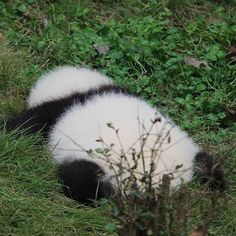 Anddddd mood this morning Panda Bear cub Cute Funny Animals, Cute Baby Animals, Animals And Pets, Wild Animals, Panda Funny, Cute Panda, Panda Panda, Panda Bebe, Bear Cubs