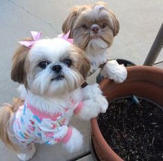 best picture ideas about shih tzu puppies - oldest dog breeds Perro Shih Tzu, Shih Tzu Hund, Shih Tzu Puppy, Shih Tzus, Shitzu Puppies, Cute Puppies, Cute Dogs, Little Dogs, Dog Haircuts