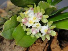Gastrochilus somae (Hayata) Hayata