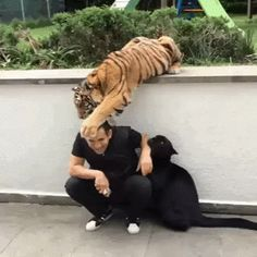 Tiger Loving His Hooman When Puma Displays Jealousy And Anger __ I think it's a black cat thing, no matter the size.