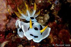 Nudibranchs - pretty!