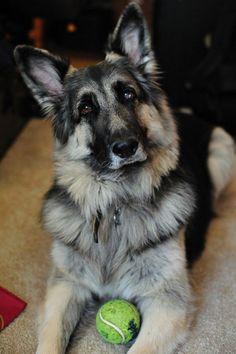 Is The Shiloh Shepherd The Best And Healthiest German Shepherd Dog ...