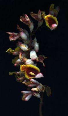 ❈ Fleurs Foncées ❈ dark art photography flowers & botanical prints - Goodnight Kiss byTim Lee