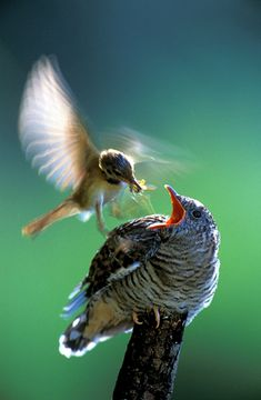 cuckoo chick being fed by surrogate parent by  Saturnina i Artur Homan