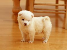 Cuddly Shiba Inu Puppy   柴犬・ブリーダー直販.NET