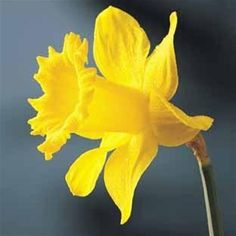daffodil photos - Bing images