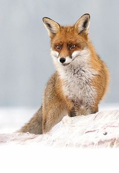 'I've got this smile on my face'  Beautiful Red fox (Vulpes vulpes) on snow
