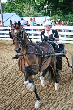 The Hackney pony is a breed of pony closely related to the Hackney horse. Equine Photography, Animal Photography, Hackney Horse, Horse Harness, Horse And Buggy, Morgan Horse, American Saddlebred, Pony Horse, Horse Saddles