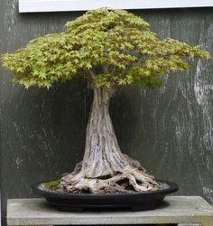 ficus bonsai beautiful trees and bonsai trees