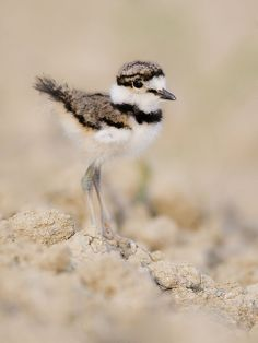 Killdeer chick... almost stepped on some baby kildeers once walking through a field.  If it weren't for the parent bird's broken wing act, I just might have.