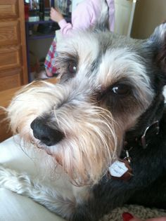 Mini schnauzer-Looks a little like my Gracie and my former Ashley.