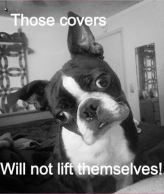 To celebrate these goofy Boston Terrier dogs and the joy they give their owners here are 22 of the best funny dog memes with Boston Terrier dogs. I Love Dogs, Puppy Love, Cute Dogs, Funny Dog Memes, Funny Dogs, Boston Terrier Love, Boston Terriers, Terrier Puppies, Terrier Mix