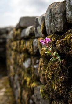 true wild flower growing in Hadrian Wall, Northumberland, England