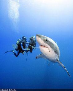 Great white sharks making a splashy comeback off U.S. coasts