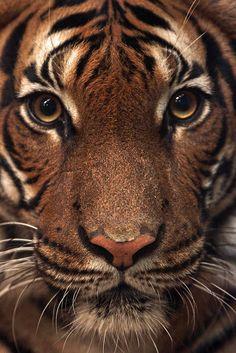 maleise tijger Dortmund IMG_0123 by Joke kok.