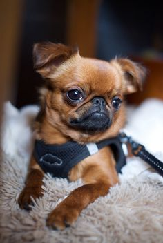 Love how the Petit Brabancon (smooth coated Brussels Griffon) look so similar to the pug!