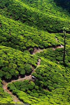 Tea Plantations in Kerala, India | Along the coast of Kerala, slices of perfect, sandy beach beckon the sun-worshipping crowd, and far inland the mountainous Ghats are covered in vast plantations of spices and tea (as pictured here). Exotic wildlife also thrives in the hills, for those who need more than just the smell of cardamom growing to get their juices flowing. | More destination info here: http://www.lonelyplanet.com/india/kerala