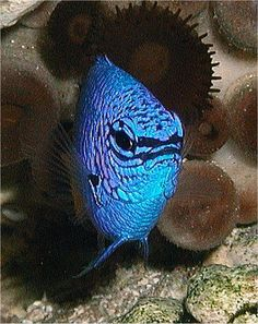 Blue Saltwater Fish by bfraz, via Flickr