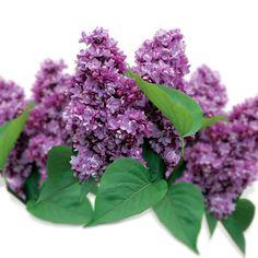 Lilak pospolity - Syringa vulgaris 'Maurice de Vilmorin'