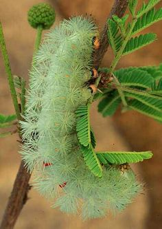 Automeris montezuma  Fuzzy Green Caterpillar