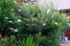 CHN - Plants - Grevillea 'Moonlight' For patio area? Australian Garden Design, Backyard Plants, Moonlight, Perennials, Woodland, Nursery, Herbs, House Design, Patio