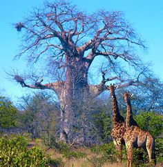 Two stunning giraffes standing in front of a big beautiful Baobab Tree.