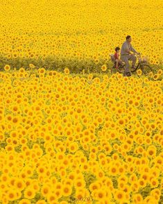 Sunflowers in full bloom & Mashiko, Japan. Photo by The post Sunflowers in full bloom Mashiko, Japan& appeared first on . Sunflower Images, Nature Photography, Travel Photography, Film Anime, Image Nature, Sunflower Fields, Yellow Sunflower, Yellow Flowers, Destination Voyage