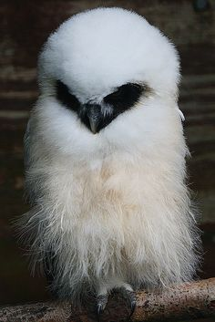A baby owl at the Chester Zoo. Don't know what kind of owl, but sure is very beautiful! So fluffy and with a heart shaped face.