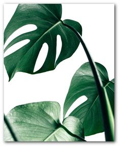 13 tips to care for your Monstera and make it grow. You will find the ideal way of taking care for your Monstera: light, temperature, humidity, water. Leaf Prints, Framed Art Prints, Poster Prints, Art Posters, Pink Prints, Nature Posters, Buy Prints, Art Mural Photo, Photo Art