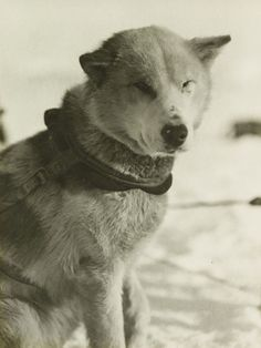 1915, sledge dog Bummer standing in harness on the ice.