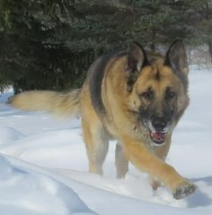 #Jack playing in the #snow!! #GSD