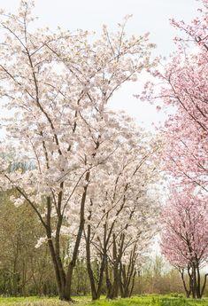 Prunus x yedoensis Gardening For Beginners, Gardening Tips, Orchards, Prunus, Run Around, Flowering Trees, Climbers, Garden Plants, Shrubs