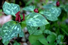 Prairie trillium, Trillium recurvatum  Zones 5 - 8