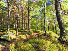 Heather in the forest Posters by Pirmin Nohr birches erica forest green heather landscape nature path trail wood land Forest Birch Trees