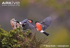 Image result for bull finch