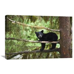 Black Bear Cub In Tree Along Anan Creek, Tongass National Forest, Alaska By Matthias Breiter, 20 X 30-Inch Wall Art