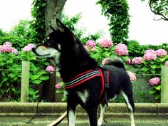 <3 Jack #Shiba dog