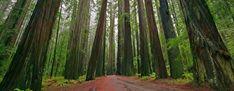 Redwood Nemzeti Park  A kaliforniai Redwood Nemzeti Park 1968. január 1-jén jött létre a Prairie Creek Redwoods, a Del Norte Coast Redwoods és a Jedediah Smith Redwoods állami parkok összevonásával. Elsődleges feladata a világon egyedülálló, csak itt élő parti mamutfenyő (Sequoia sempervirens) megmaradt példányainak megóvása.