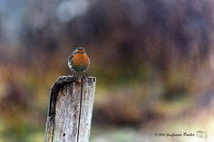 robin in the drizzle - null
